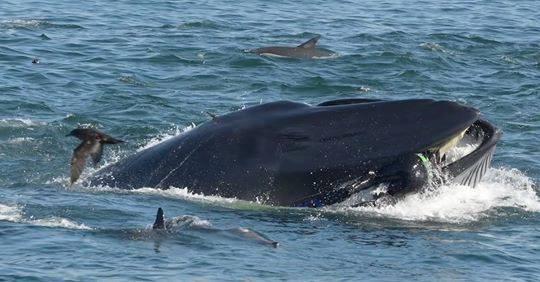 walvis slikt duiker in